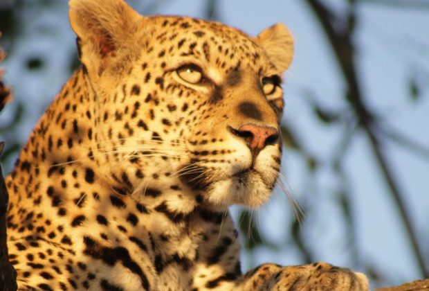itinerary_lg_2south-africa-kruger-leopard-ft-4637236-md-rgb-2