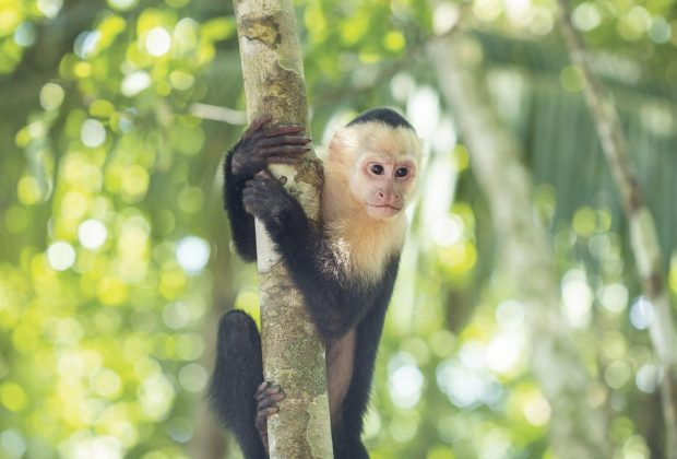 itinerary_lg_2costa-rica-manuel-antonio-national-park-white-faced-monkey